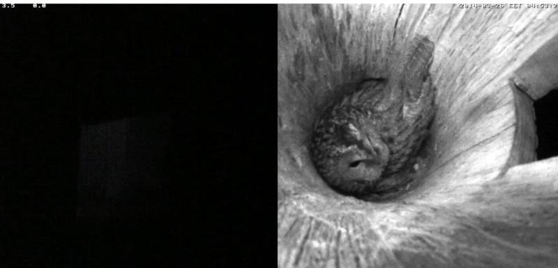 Estonian Tawny Owl Webcam 2014 - Page 2 Odeeee10