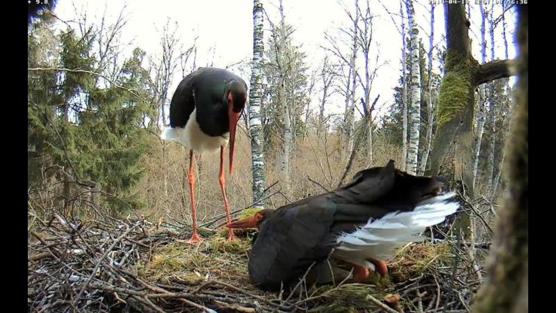 Black Stork ~ Tiit & Tiina ~ 2013 - Page 14 Ommmnn10