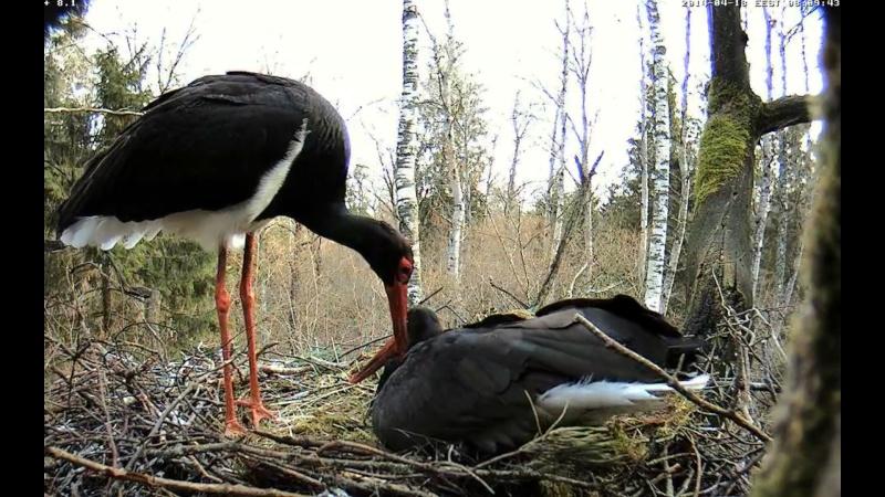 Black Stork ~ Tiit & Tiina ~ 2013 - Page 14 Onnnnn15