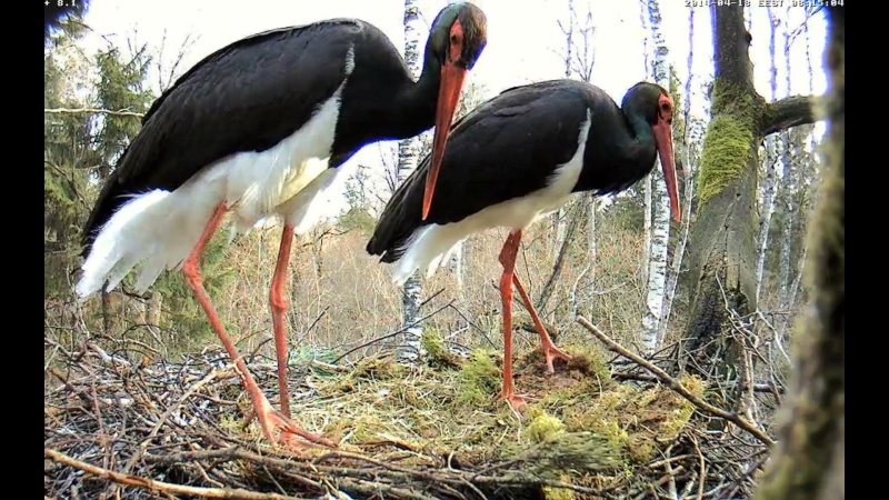 Black Stork ~ Tiit & Tiina ~ 2013 - Page 14 Onnnnn17