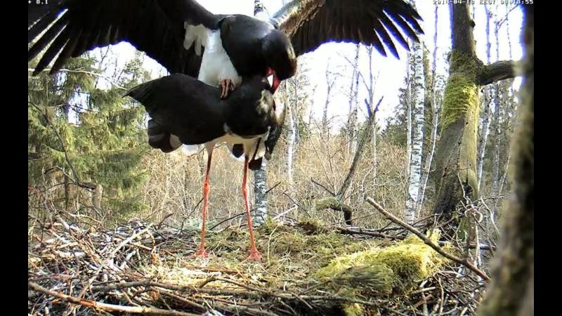 Black Stork ~ Tiit & Tiina ~ 2013 - Page 14 Onnnnn18