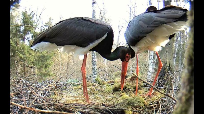 Black Stork ~ Tiit & Tiina ~ 2013 - Page 14 Onnnnn19