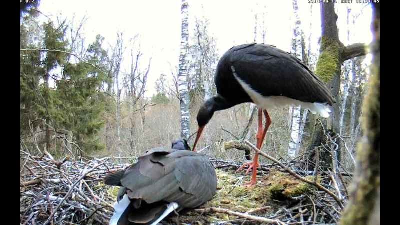 Black Stork ~ Tiit & Tiina ~ 2013 - Page 14 Onpaaa10