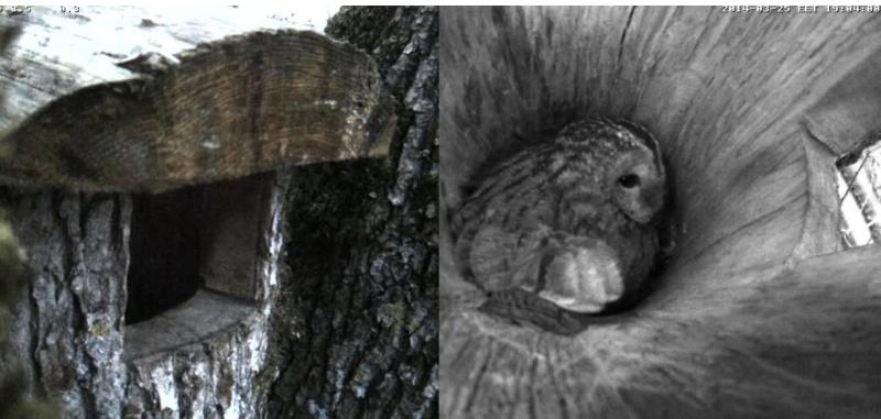 Estonian Tawny Owl Webcam 2014 Ooccoe10