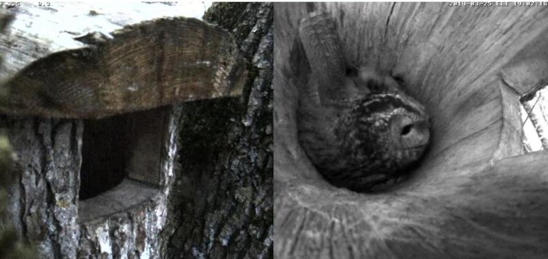 Estonian Tawny Owl Webcam 2014 Ooccof10