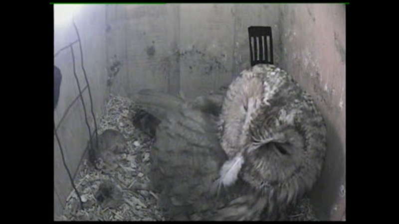 The Dutch Tawny Owl webcam Qaaabb10
