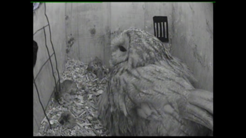 The Dutch Tawny Owl webcam Qabbbb11