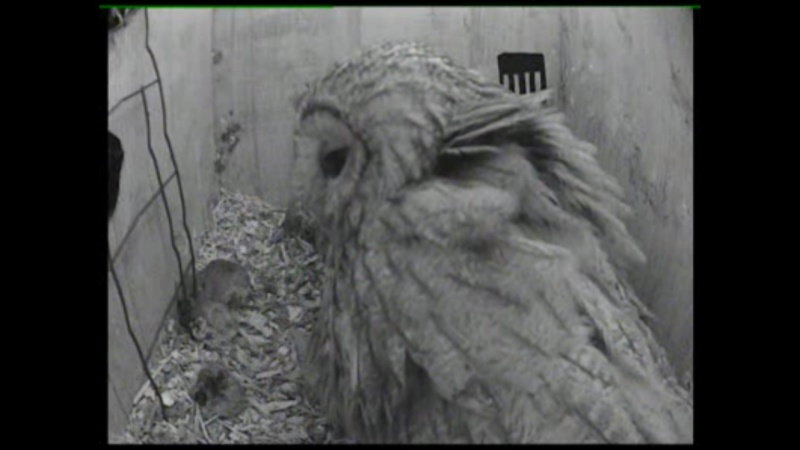 The Dutch Tawny Owl webcam Qbbbbb19