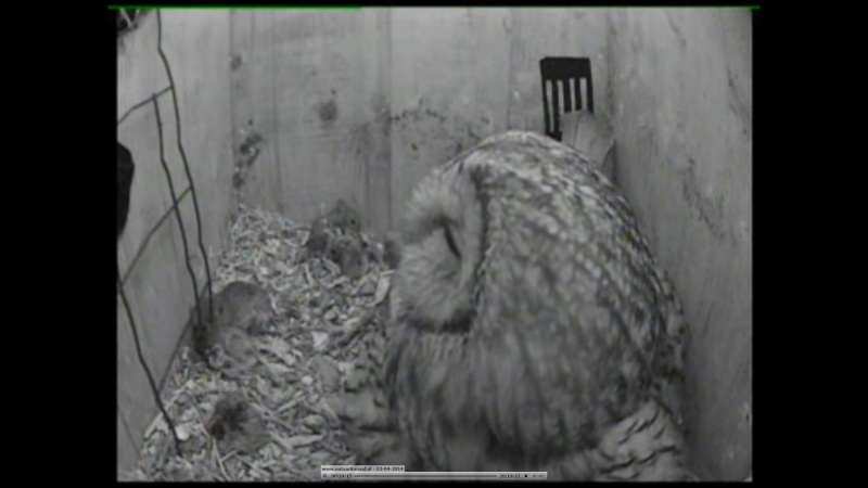 The Dutch Tawny Owl webcam Qbbbbb20