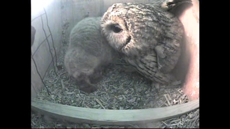 The Dutch Tawny Owl webcam - Page 2 Weeeee10