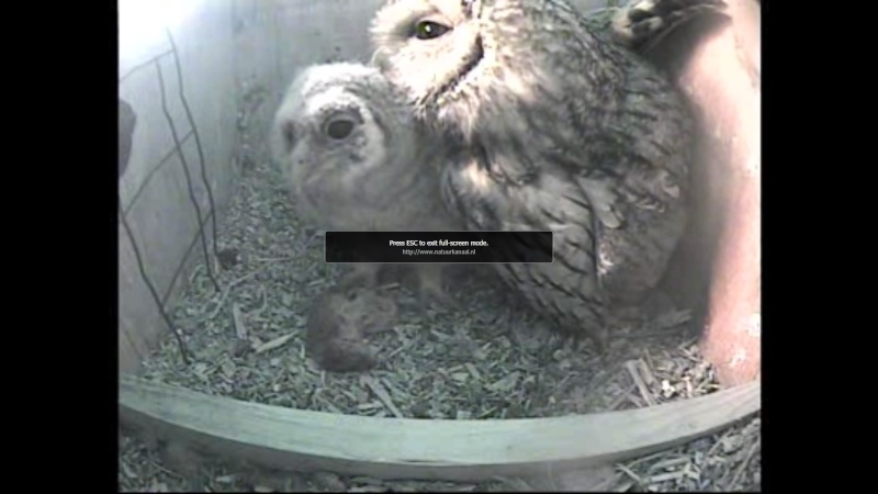 The Dutch Tawny Owl webcam - Page 2 Weeeee11