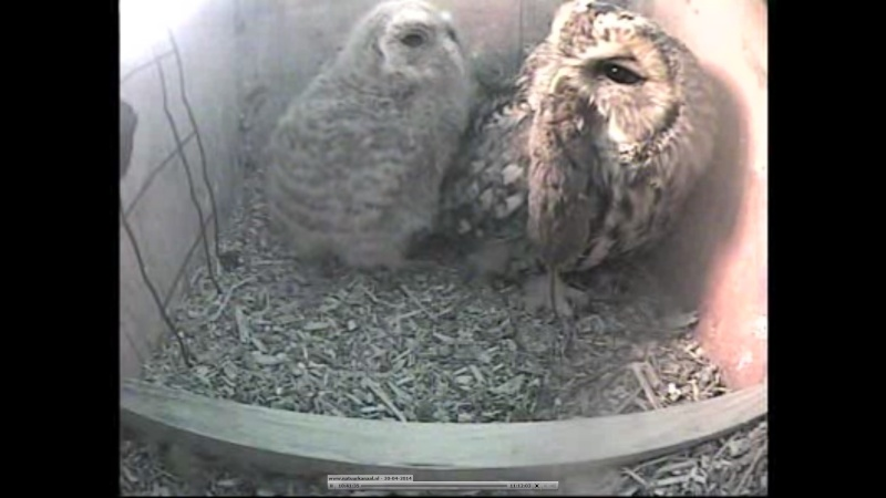 The Dutch Tawny Owl webcam - Page 2 Weeeef10