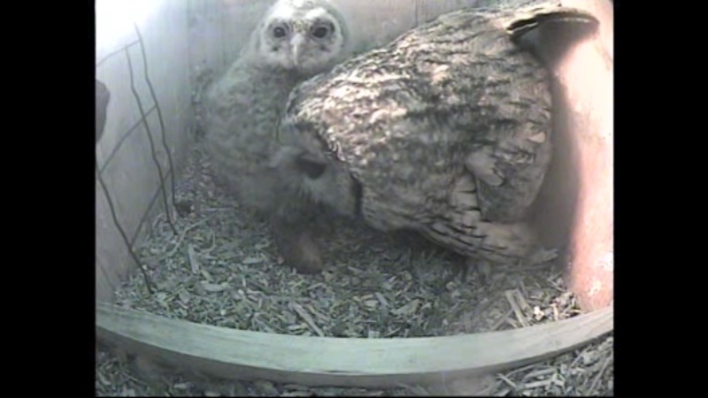 The Dutch Tawny Owl webcam - Page 2 Weeeef11