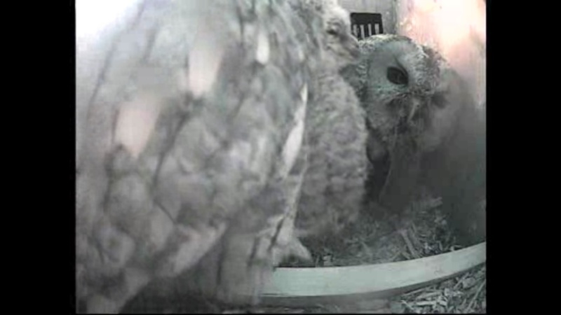 The Dutch Tawny Owl webcam - Page 2 Weeeff12