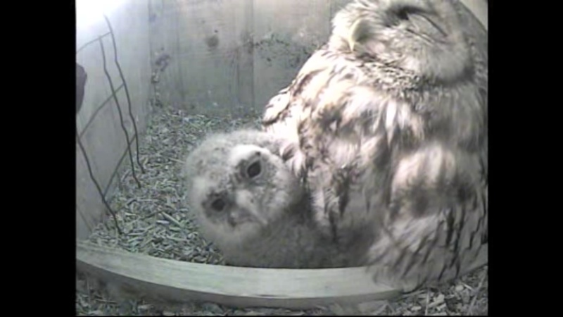 The Dutch Tawny Owl webcam - Page 2 Wggggg10