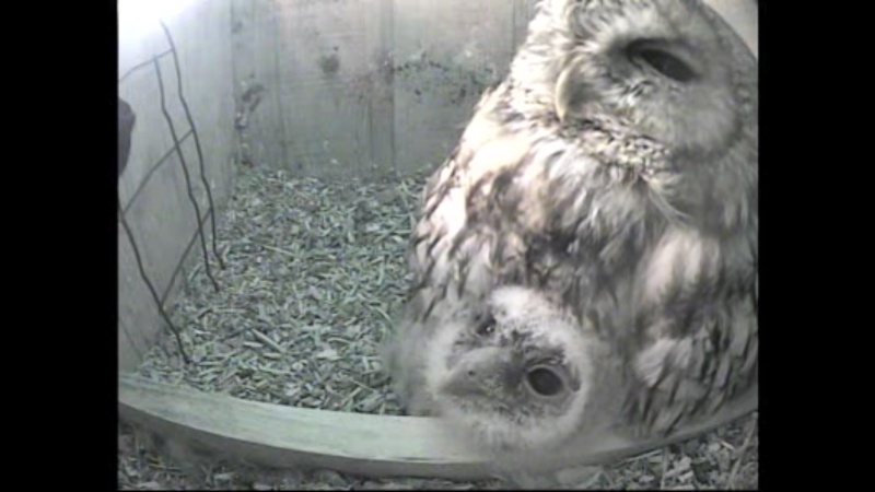 The Dutch Tawny Owl webcam - Page 2 Wggggh10