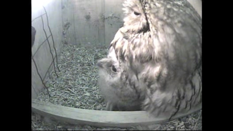 The Dutch Tawny Owl webcam - Page 2 Wggggh13