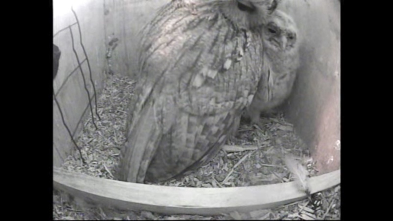 The Dutch Tawny Owl webcam - Page 2 Wggghh10