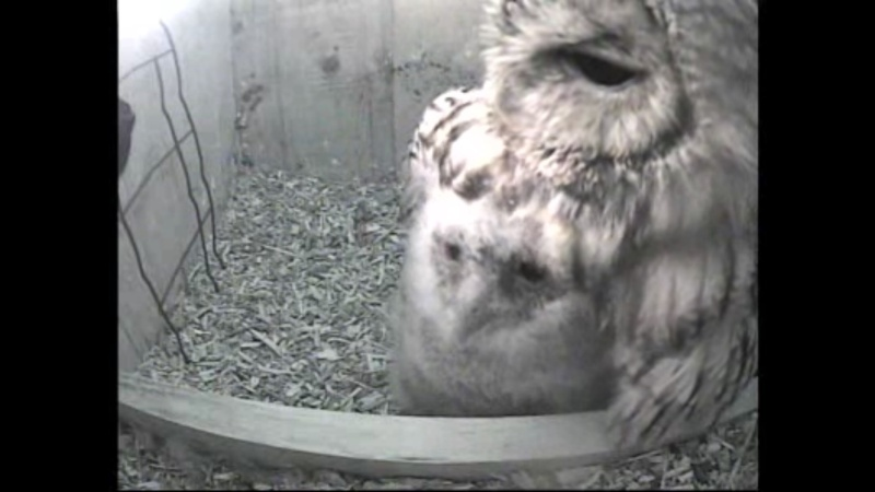 The Dutch Tawny Owl webcam - Page 2 Wggghh11