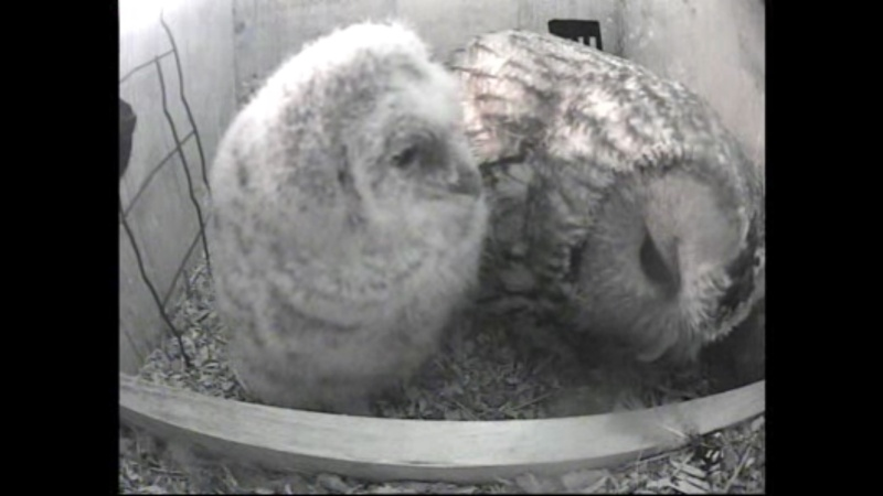 The Dutch Tawny Owl webcam - Page 2 Wgghhh11