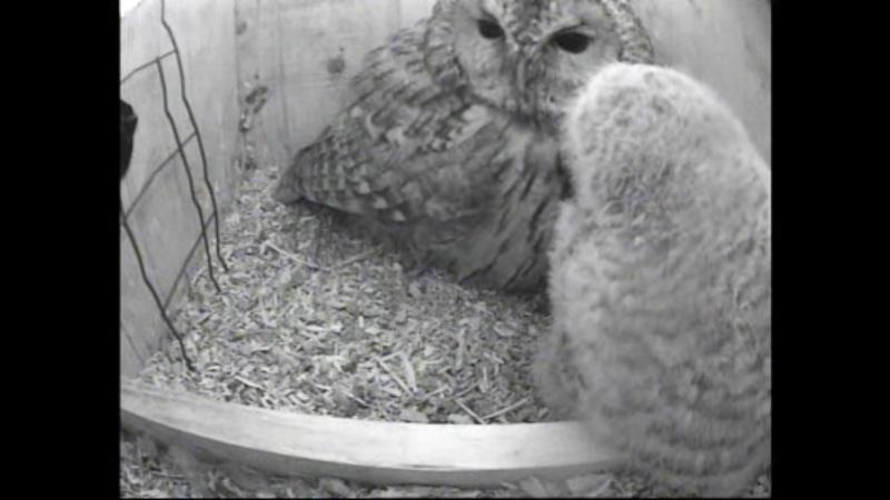 The Dutch Tawny Owl webcam - Page 2 Wghhhh10