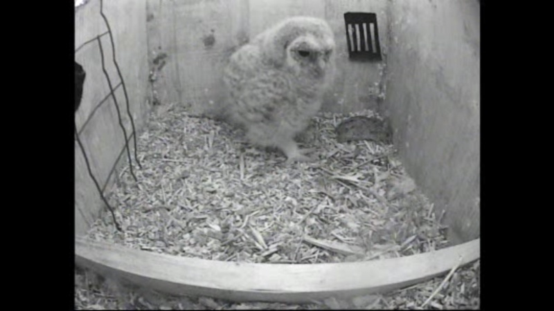 The Dutch Tawny Owl webcam Whhhhh10
