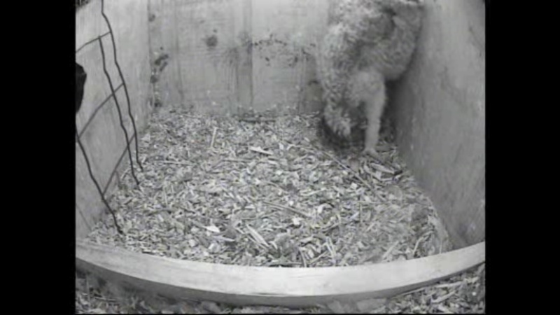 The Dutch Tawny Owl webcam Whhhhk11