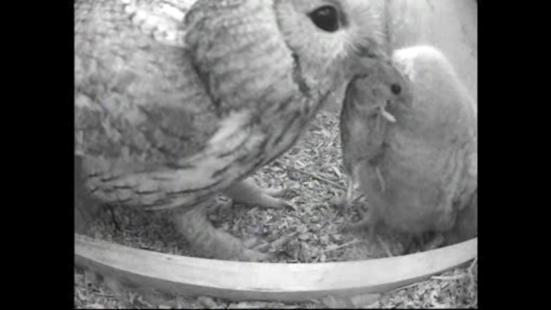 The Dutch Tawny Owl webcam Whhhkk10