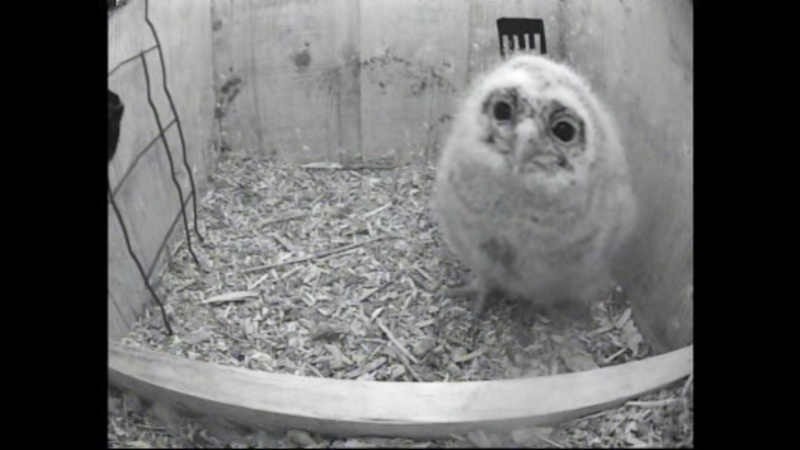 The Dutch Tawny Owl webcam Whhkkk10