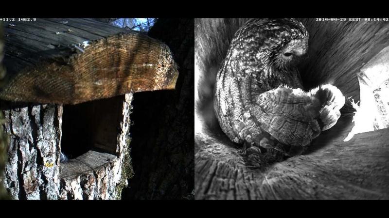 Estonian Tawny Owl Webcam 2014 Wkkkll10