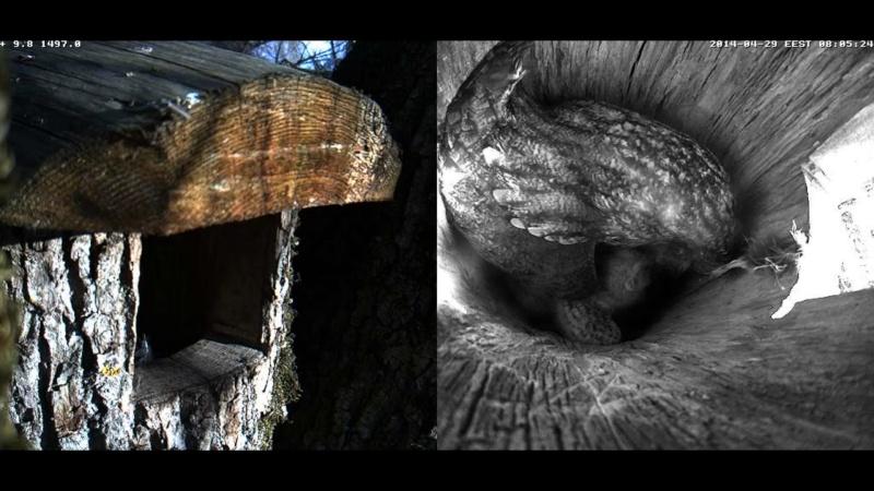Estonian Tawny Owl Webcam 2014 Wkllll10