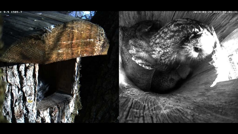 Estonian Tawny Owl Webcam 2014 Wkllll11