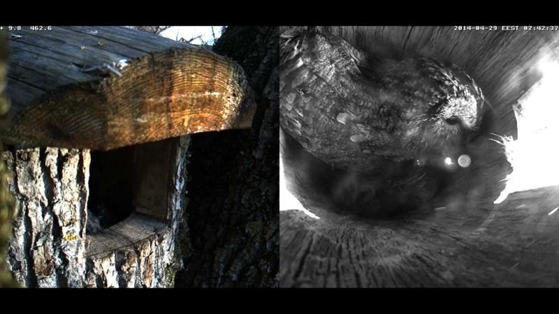 Estonian Tawny Owl Webcam 2014 Wlllll11