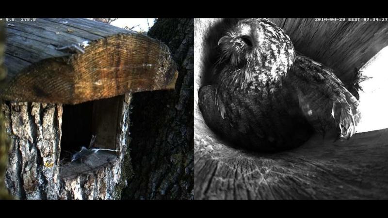 Estonian Tawny Owl Webcam 2014 Wllllm11