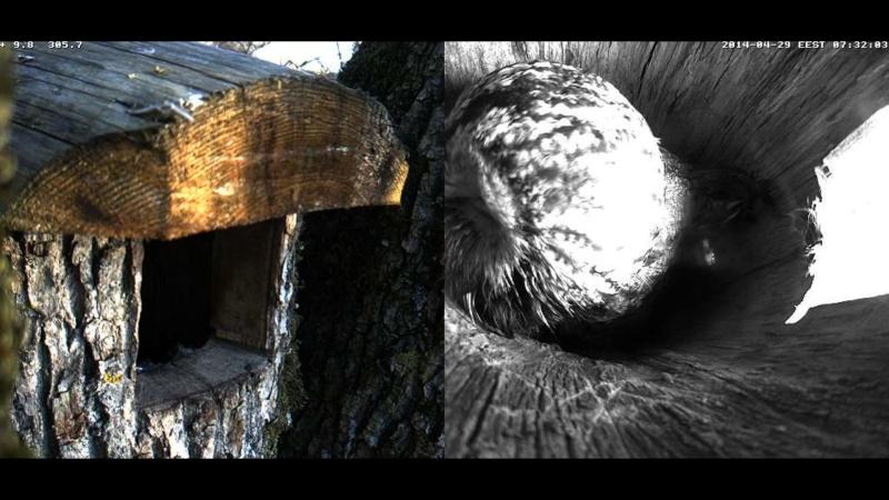 Estonian Tawny Owl Webcam 2014 Wlllmm10