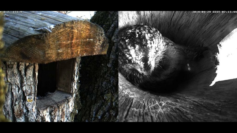 Estonian Tawny Owl Webcam 2014 Wllmmm10