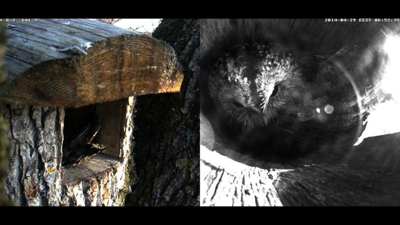 Estonian Tawny Owl Webcam 2014 Wmmmnn11