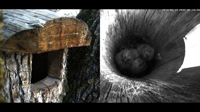 Estonian Tawny Owl Webcam 2014 Wmmnnn11