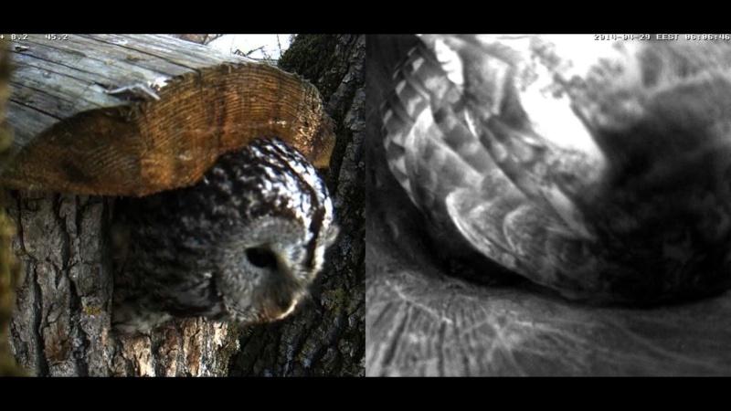 Estonian Tawny Owl Webcam 2014 Wmnnnn10