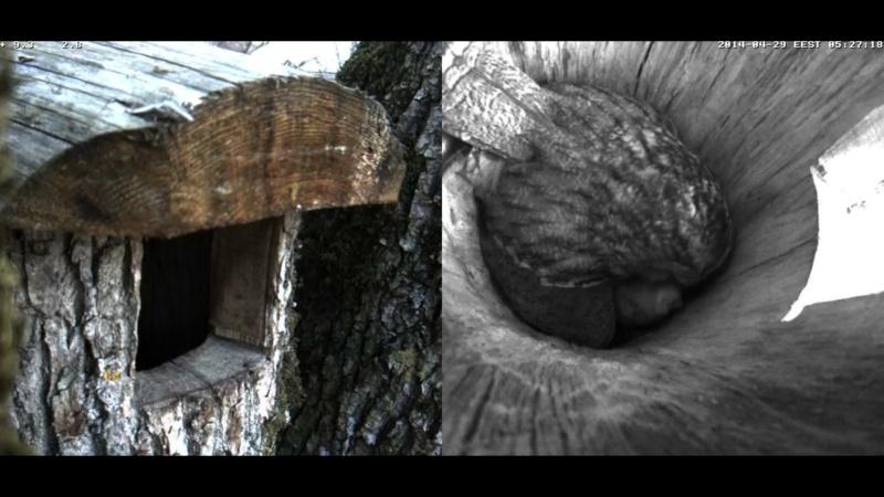 Estonian Tawny Owl Webcam 2014 Wnnooo11