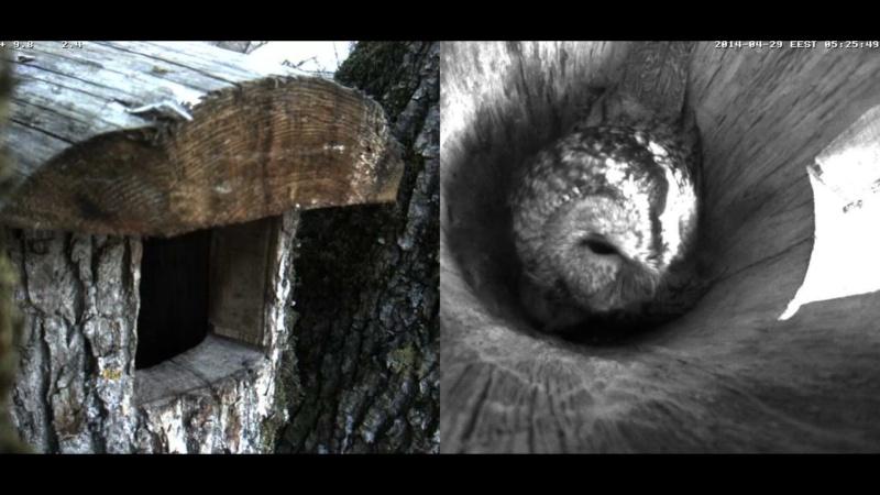 Estonian Tawny Owl Webcam 2014 Wnooop11