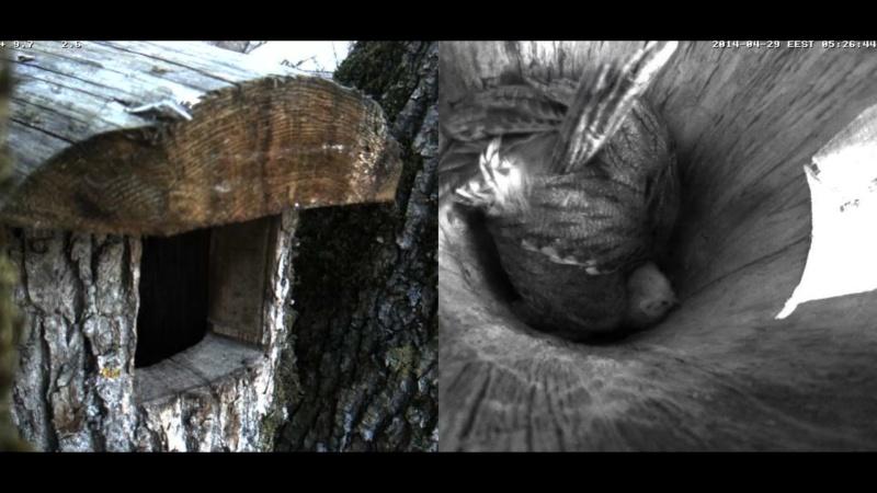 Estonian Tawny Owl Webcam 2014 Wnooop12