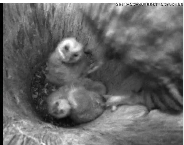 Estonian Tawny Owl Webcam 2014 - Page 40 Wpppxa10