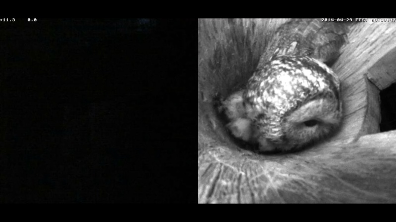 Estonian Tawny Owl Webcam 2014 - Page 40 Wpppxa11