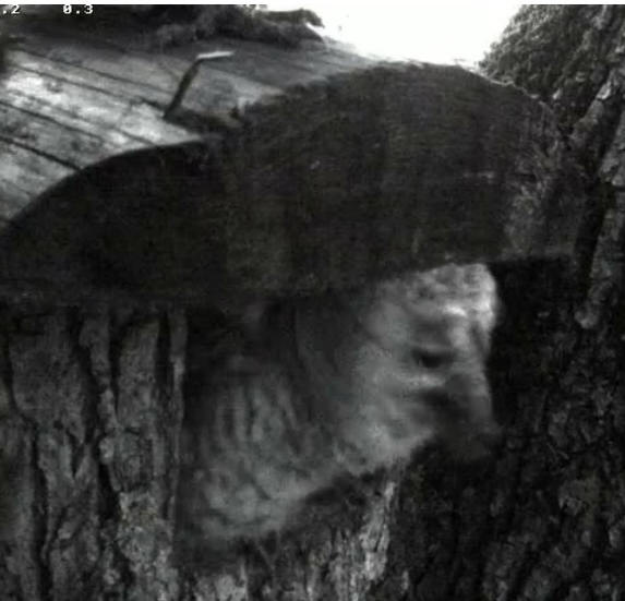 Estonian Tawny Owl Webcam 2014 - Page 24 Z1510