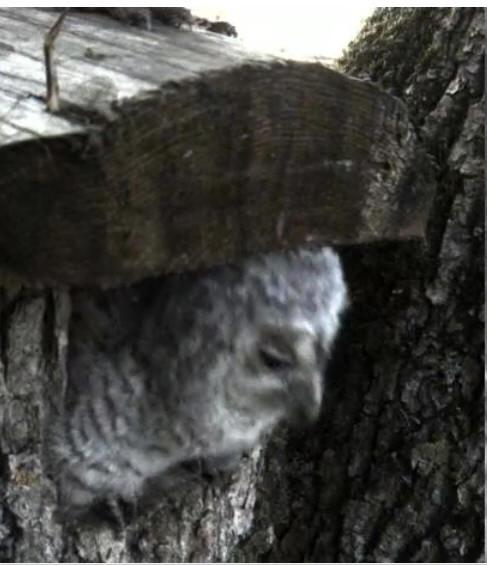 Estonian Tawny Owl Webcam 2014 - Page 23 Z1610