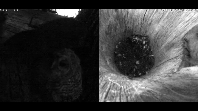 Estonian Tawny Owl Webcam 2014 - Page 24 Z4610