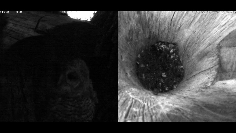 Estonian Tawny Owl Webcam 2014 - Page 24 Z4710
