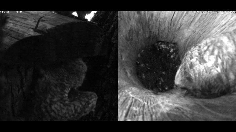 Estonian Tawny Owl Webcam 2014 - Page 24 Z4810
