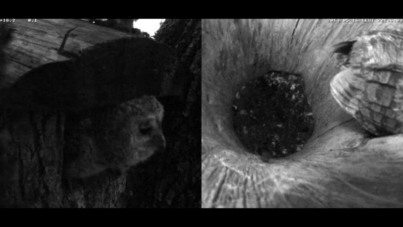 Estonian Tawny Owl Webcam 2014 - Page 24 Z4910